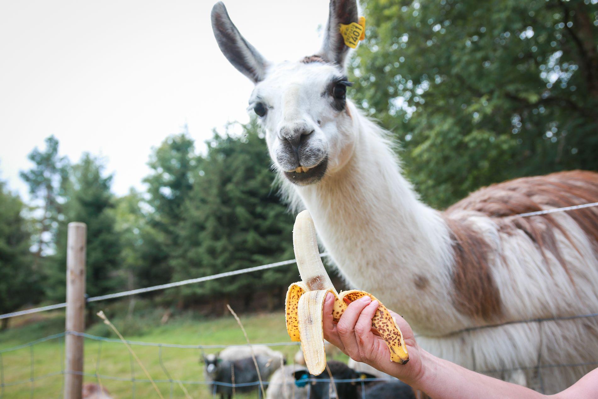 LOVING IT: Lamaen Hugo mumser bananer. Tørken denne sommeren har utvidet kostholdet.