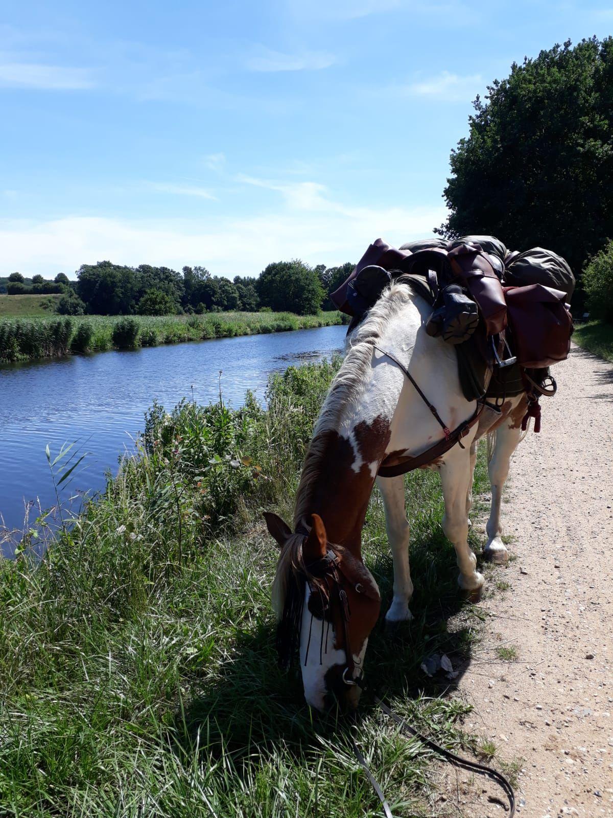 DRIKKEPAUSE: Bento benyttet enhver anledning til å få i seg væske. Her langs Elbe-Havelkanalen i Tyskland.