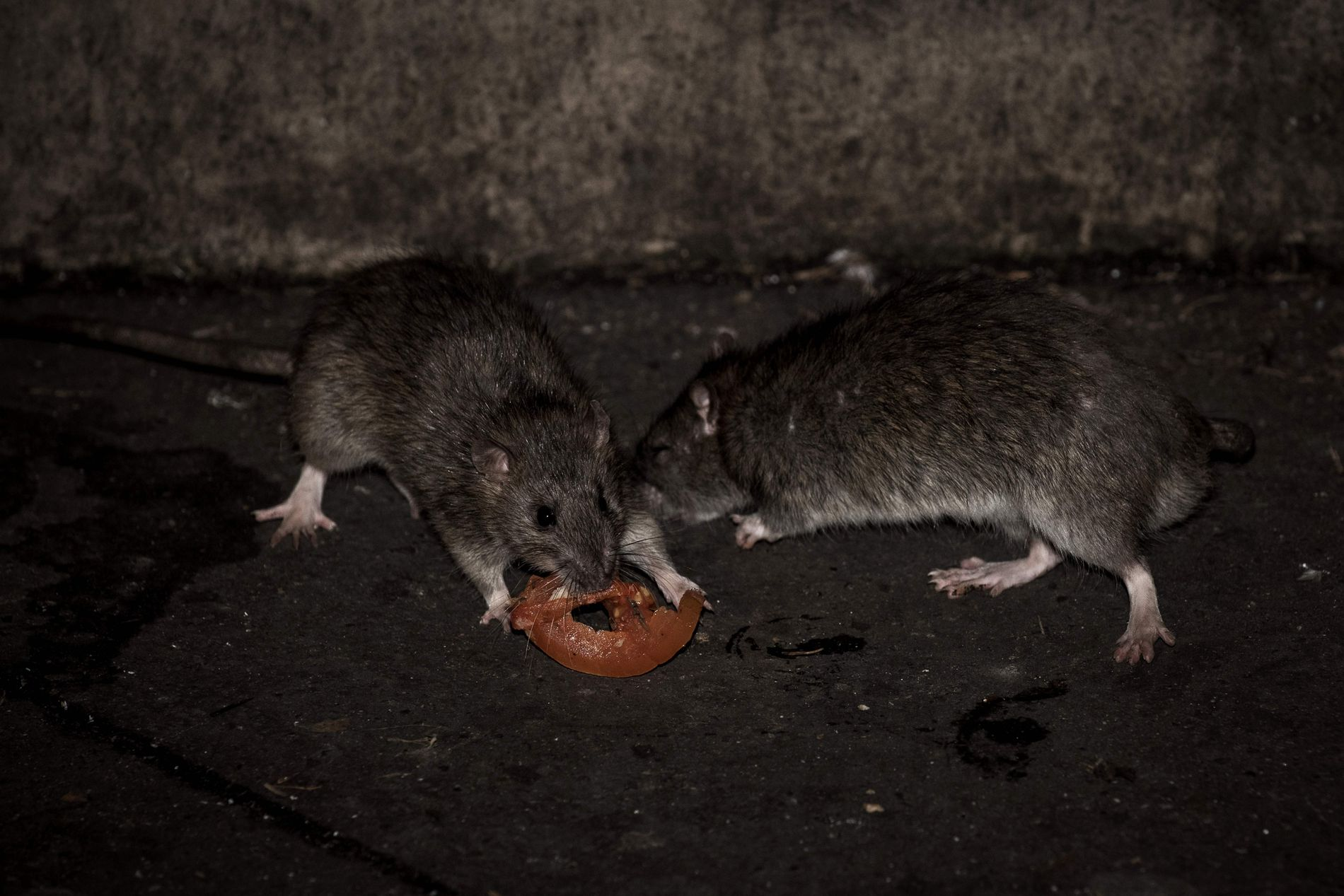ROTTEANGREP: En lam jente i frankrike har store skader over hele kroppen etter at hun ble angrepet av rotter midt på natten.