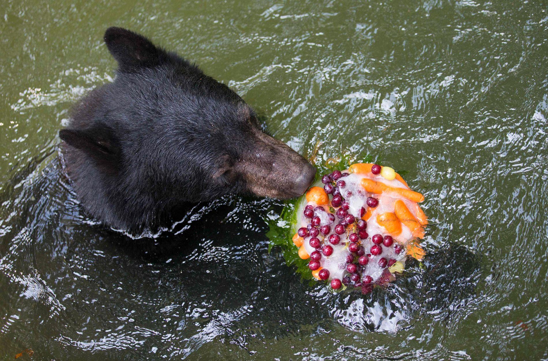 GODT OG KALDT: En svartbjørn i Osnabrück dyrepark kjøler seg ned på både utsiden og innsiden, med en kald dessert i bassenget.