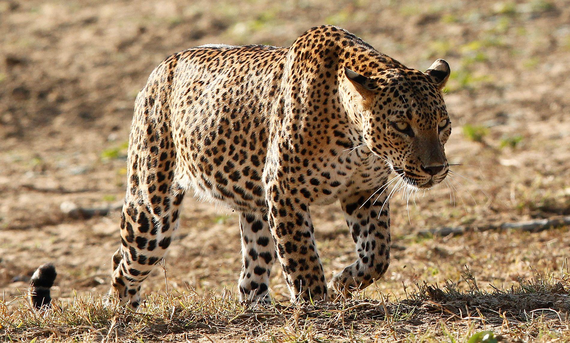 DREPTE MUNK: Munken Rahul Walke Bodhi ble denne uken drept av en leopard i det indiske tigerreservatet Tadoba Andhari. Denneleoparden er avbildet i en nasjonalpark i Sri Lanka.