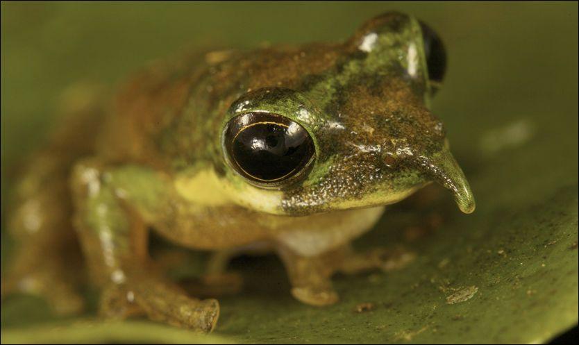 NY FYR: Denne frosken, som lever i regnskogen i Indonesia, har du neppe sett før. Foto: AP Photo/National Geographic, Tim Laman