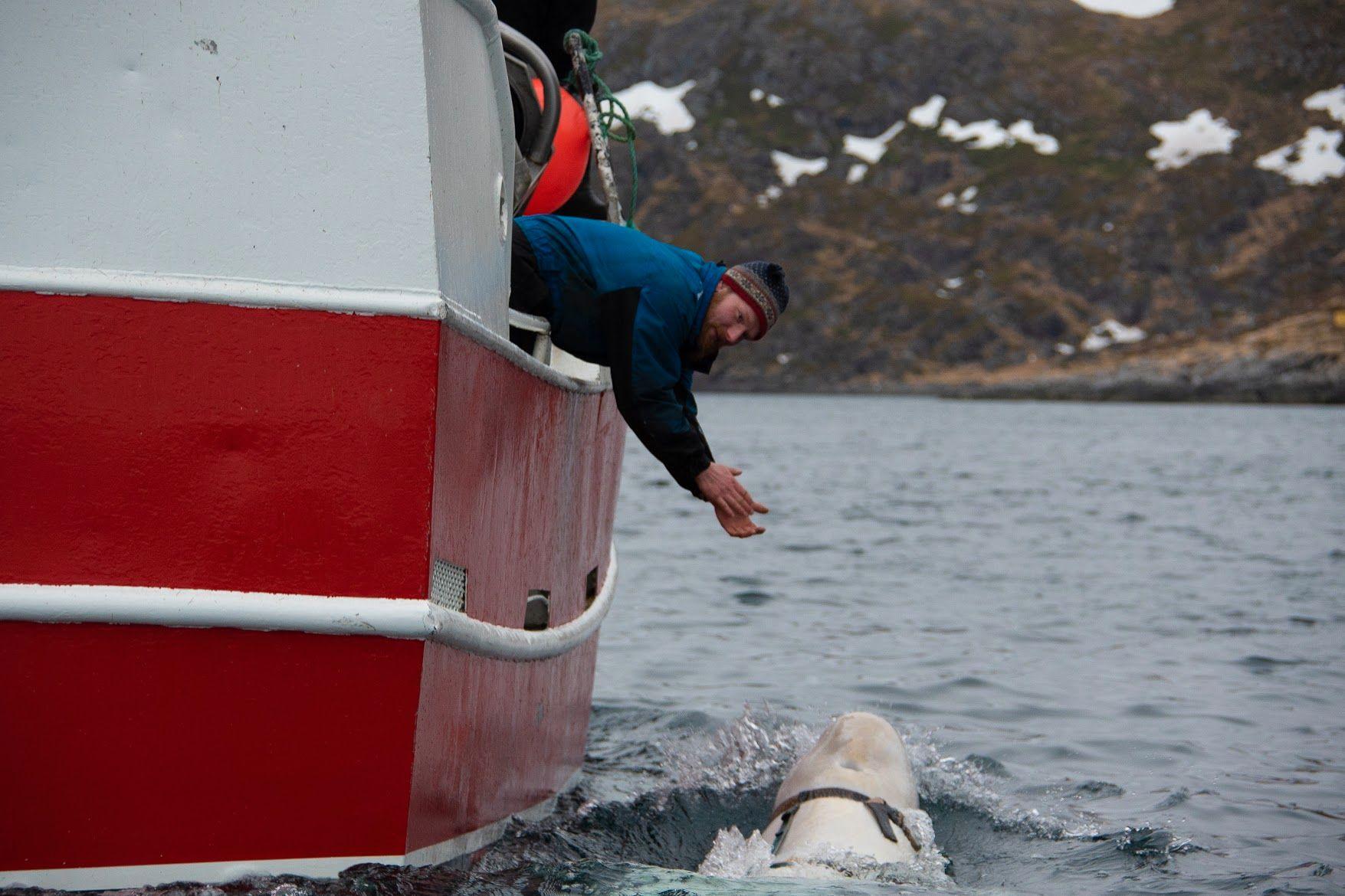 Hvithvalen svømte helt opp til båten til fiskeren Joar Hesten.