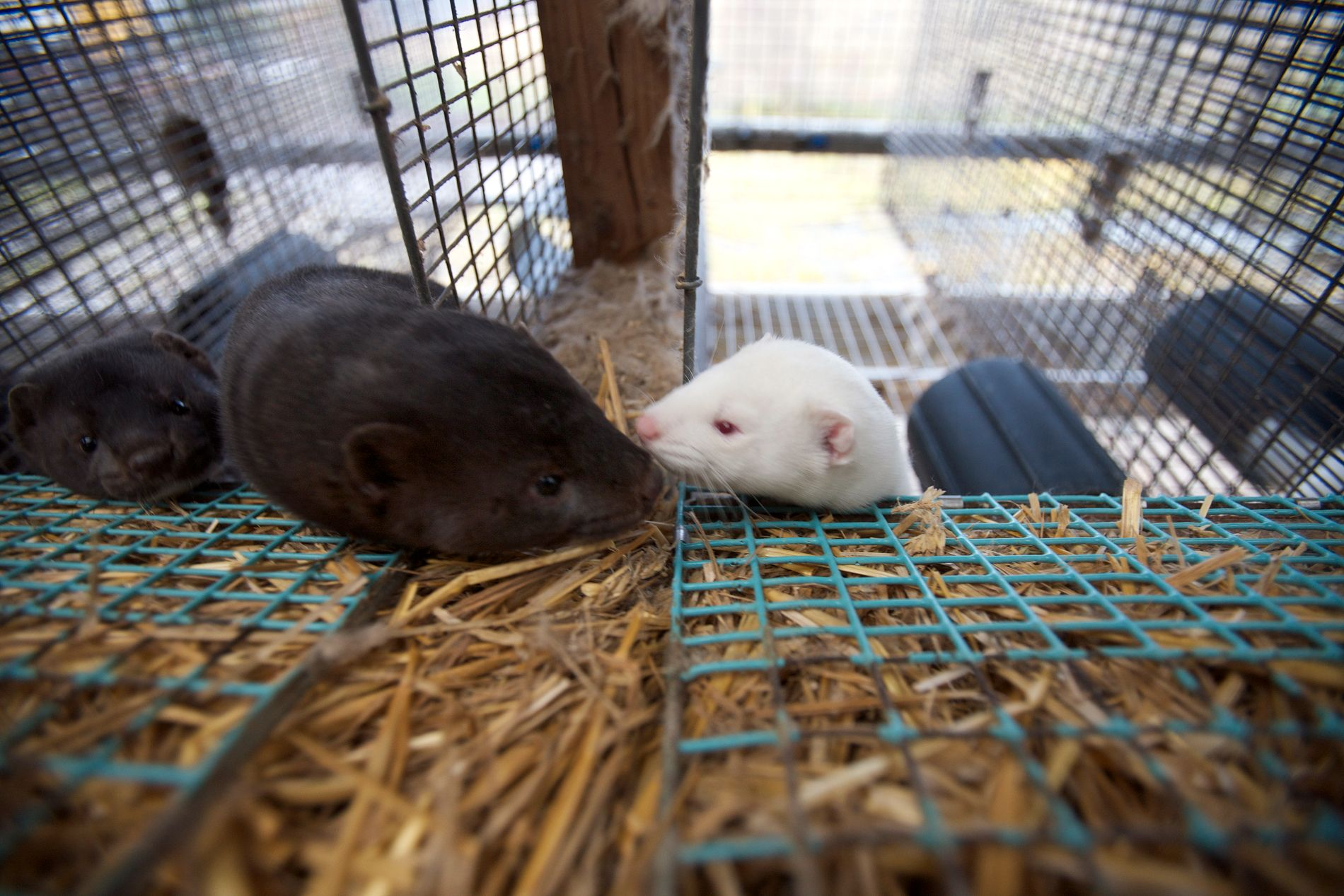 PELSDYR: I lovforslaget tas det til orde for å forby pelsdyrhold umiddelbart, men med en avviklingsperiode.