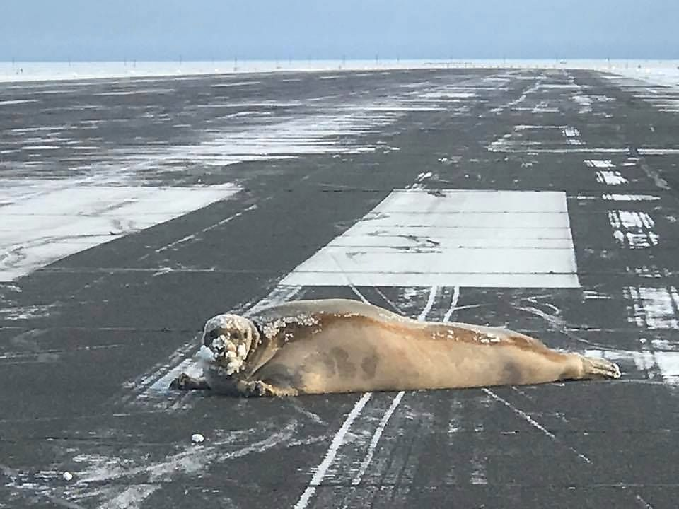 SEL PÅ RULLEBANEN: Den 200 kilos tunge kjempeselen hadde slept seg inn på rullebanen via en sikkert strabasiøs tur på over en kilometer fra havet ved flyplassen.