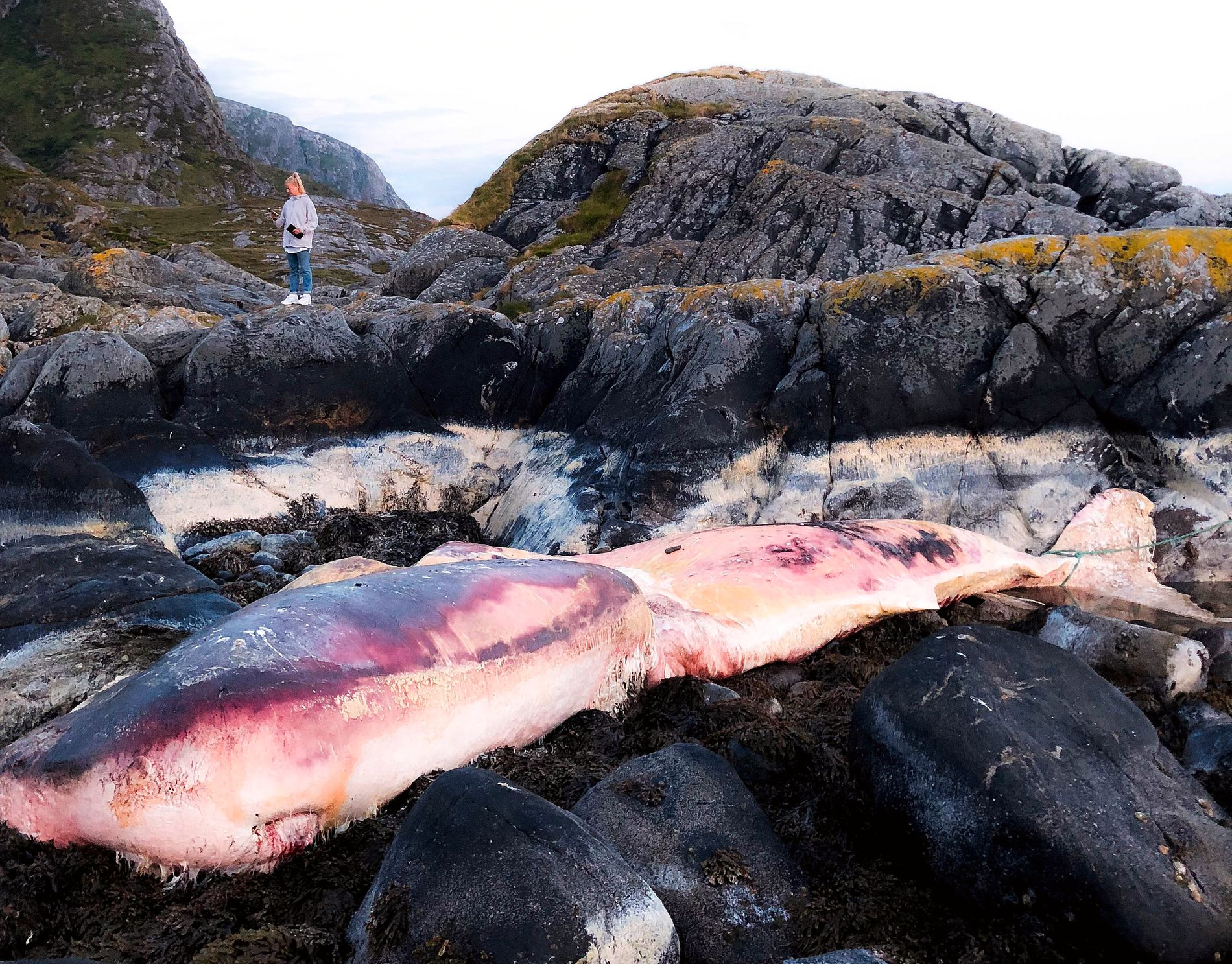 STRANDET: Hvalen ligger strandet på området Ulla på Haramsøy, og skal etter planen fjernes søndag kveld.