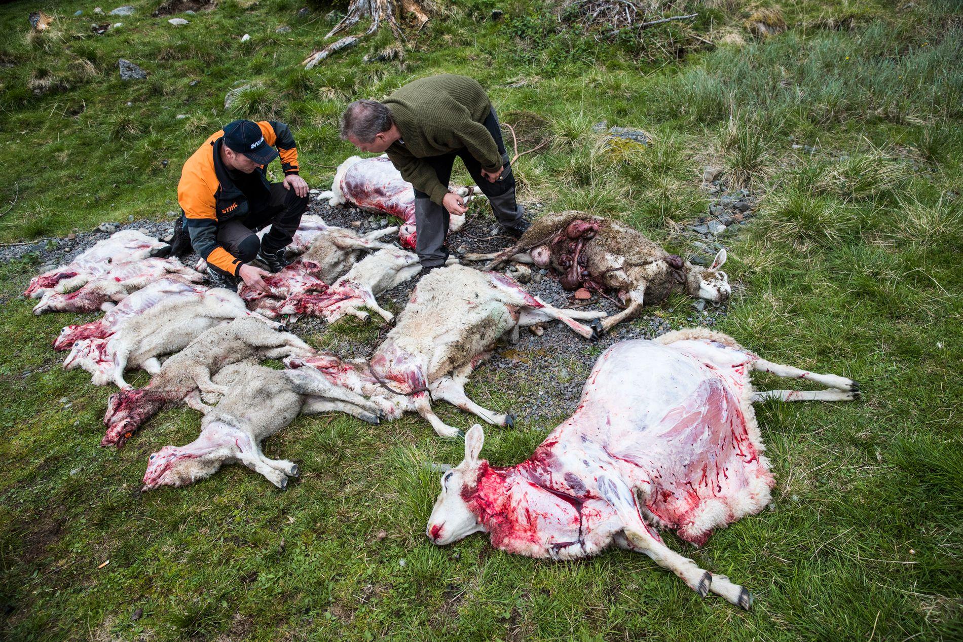 BEKJEMPER ULVEN MED NY METODE: Etter flere ulveangrep mot sau tillater Klima- og miljødepartementet bruk av spesialhunder for å få bukt med ulven.