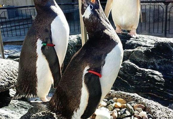 Akvariet i Bergen: Babylykke for homofilt pingvinpar