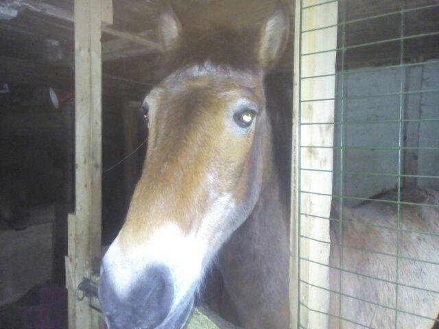 SAVNET I FJELLET: Exmoor-ponnien Harry på 25 år var savnet i dagevis og ble reddet med helikopter mandag kveld.