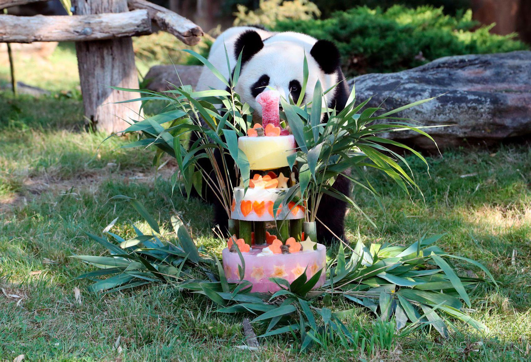 BURSDAGSBJØRN: Pandababyen Yuang Meng fylte ett år i ZooParc de Beauval i Frankrike lørdag.