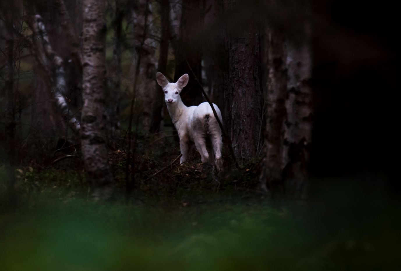 RÅTT: Albinorådyret stirrer tilsynelatende rett inn i kameralinsen til naturfotograf Even Agerup.