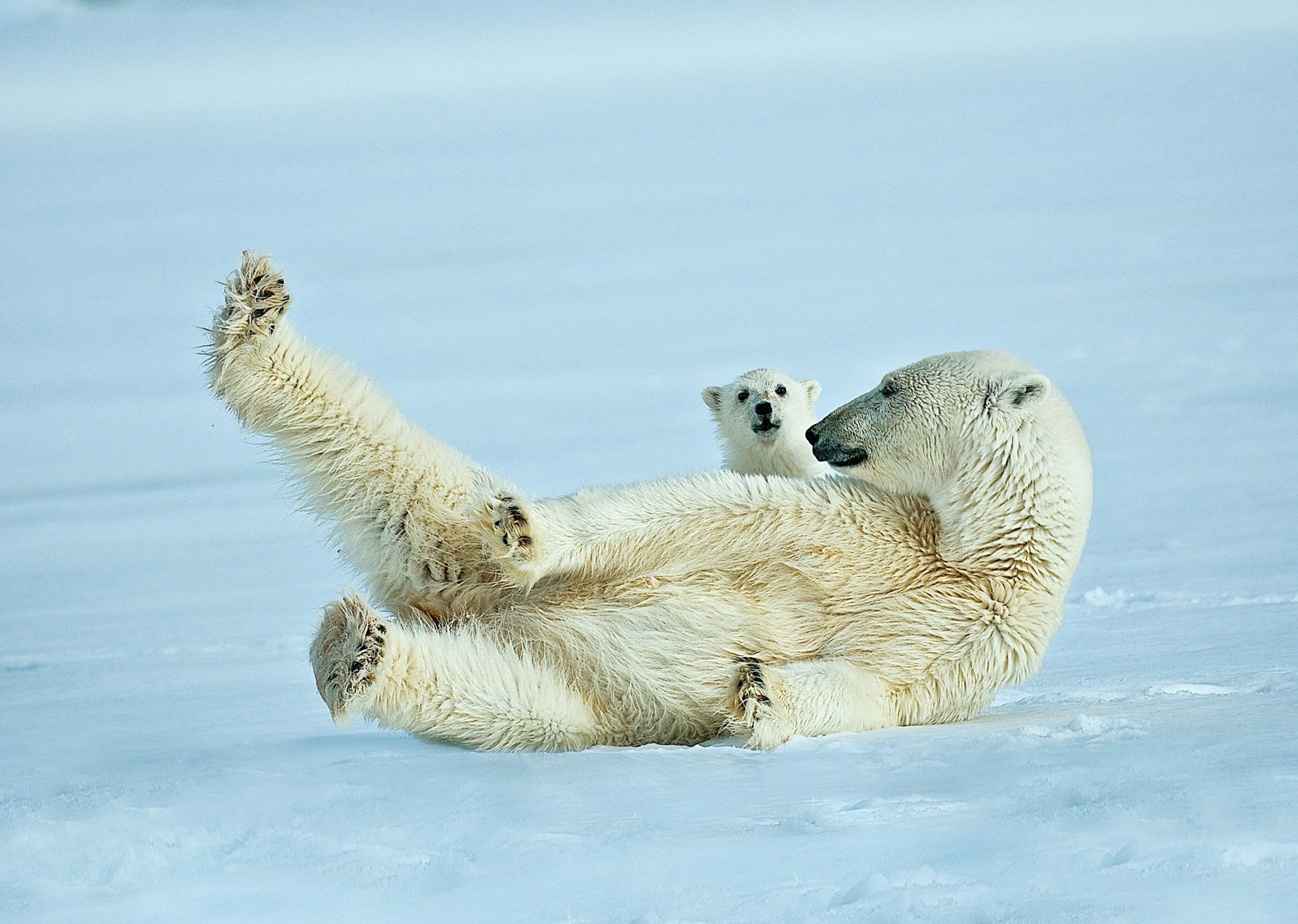 FLERE ISBJØRN ENN MENNESKER: På Svalbard er det over 3000 isbjørn og 2200 innbyggere.