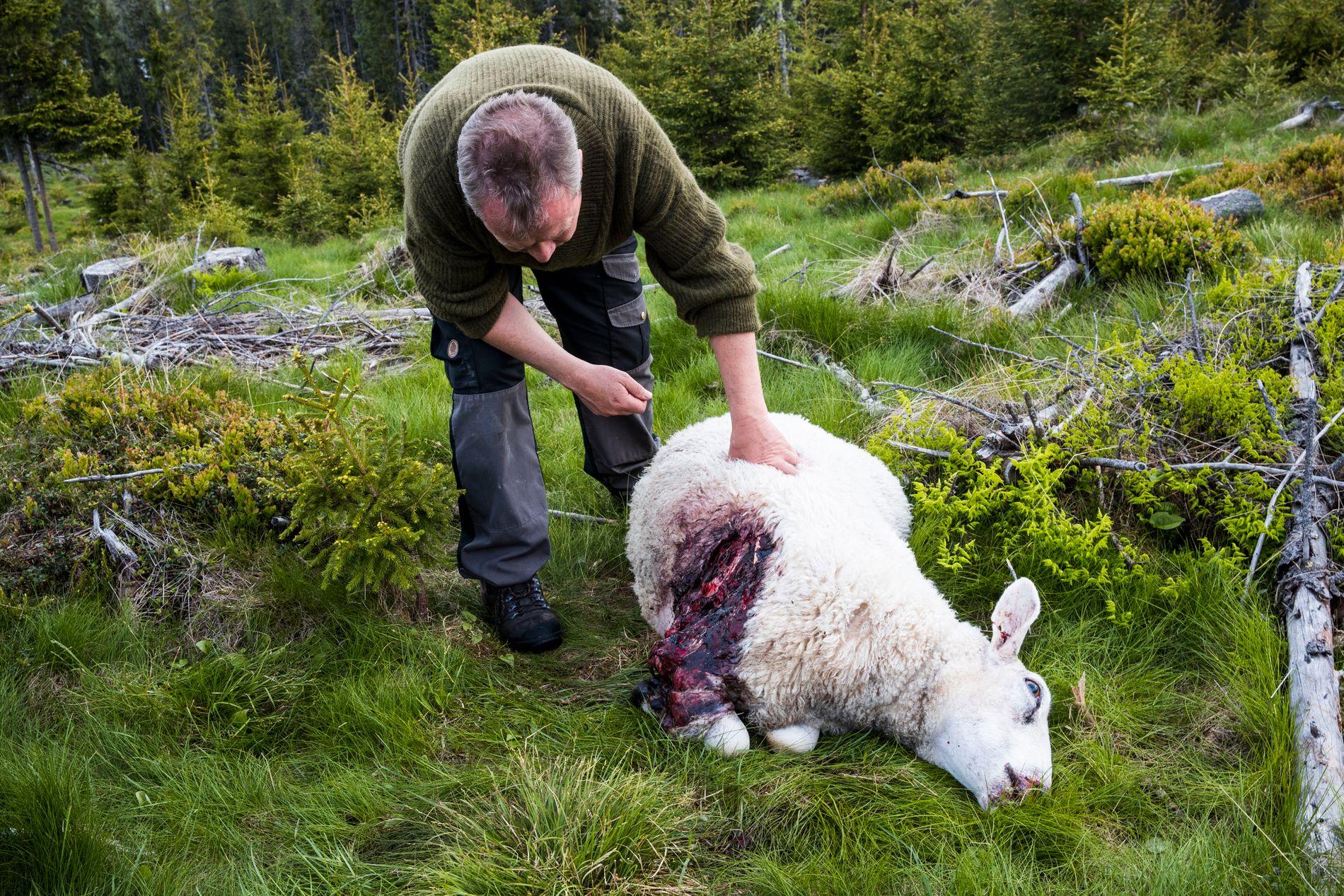 VAR I LIVE: Denne sauen var bitt av ulv dypt inn i buken, men var fortsatt i live da den ble funnet. Lammene sto rundt moren og forsøkte å amme av den, forteller styreleder Kjetil Ulset i Gran sauebeitelag til VG.