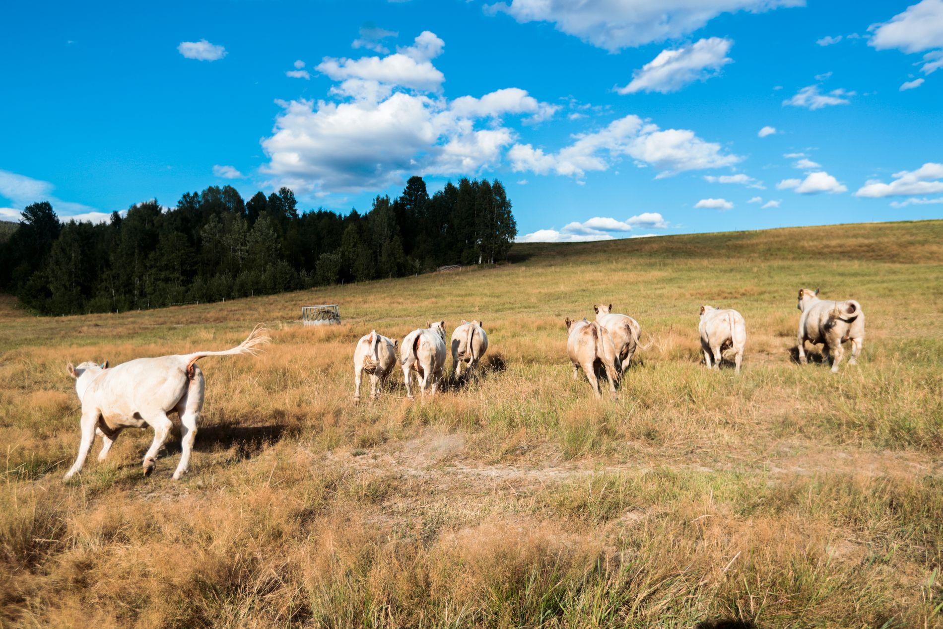 Det er tørke i Norge, og landbruket har store problemer med avling. Flere steder må kuer fôres på beite. Kuene på beitet sliter også med plagsomme fluer.