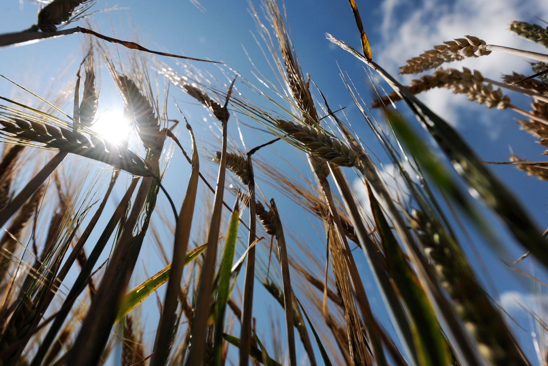 LYSERE ÅKRE: Hvis artene vi dyrker er lysere, vil det reflektere mer varme.