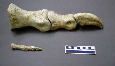 DØDE UNG: Tåen (nederst) tilhørte en Tarbosaurus-unge som døde fem år gammel. Den store tåen, en fullvoksen Tarbosaurus, stammer fra et tidligere funn. Foto: Reuters