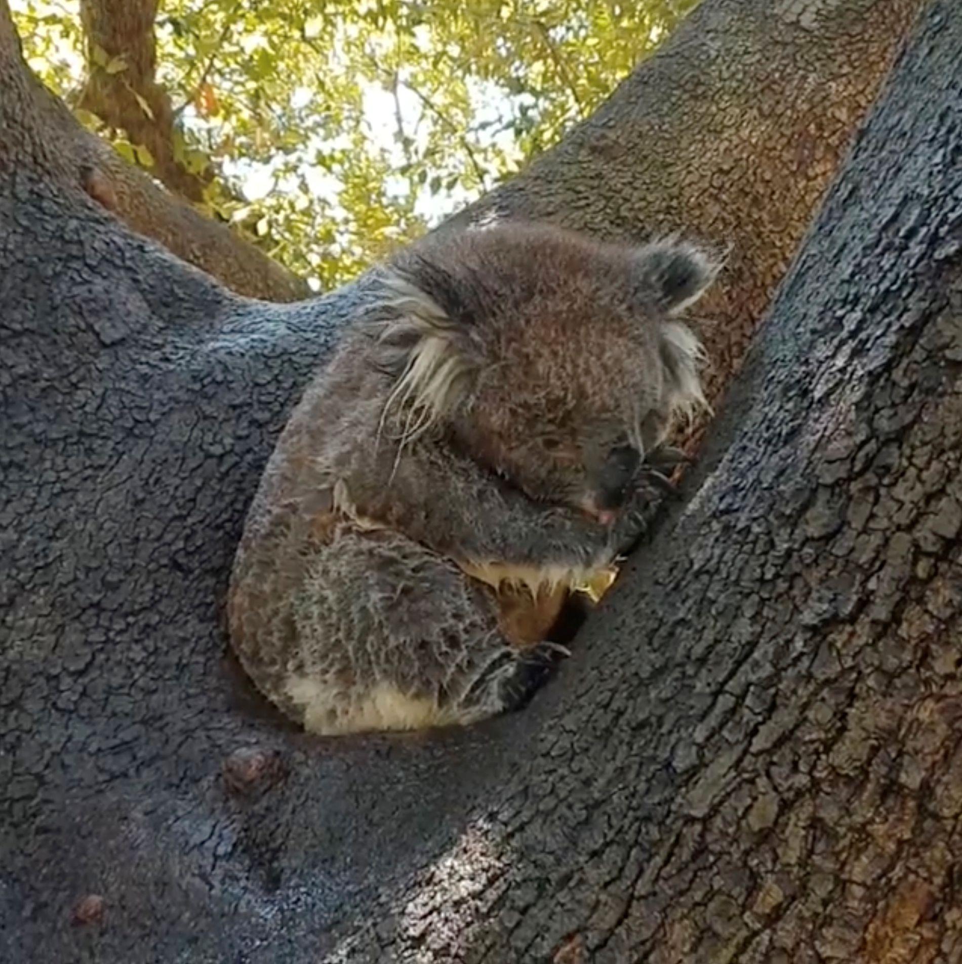 VARMT: En koala steller seg etter å ha kjølt seg ned i en spreder i byen Adelaide i Australia.