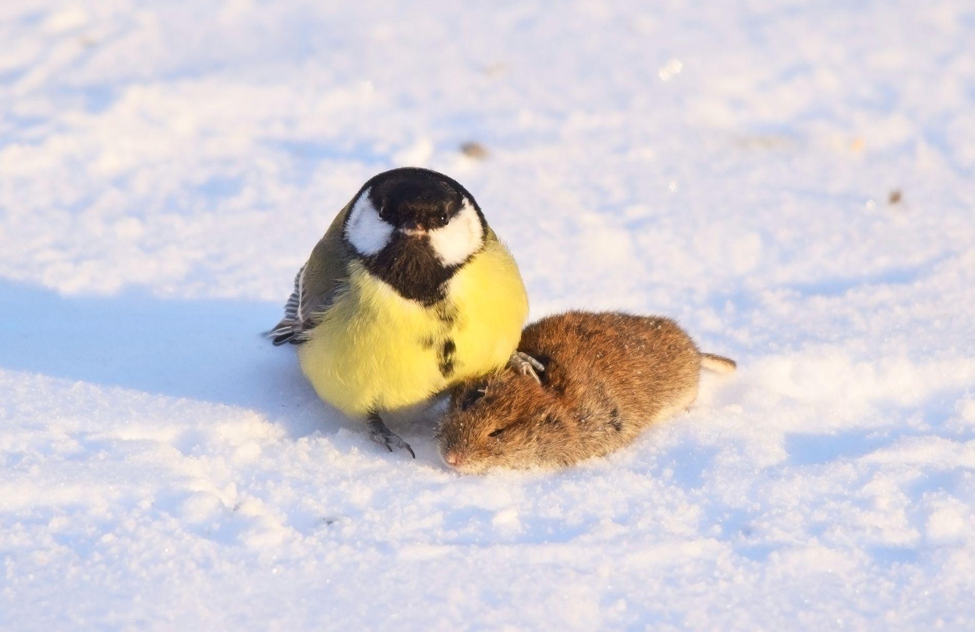 EKTE «ANGRY BIRD»: Musa hadde ingen sjanse mot den hissige kjøttmeisen. Dramaet skjedde under fuglebrettet til fotografen i Finland.