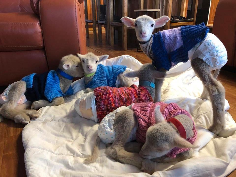 NYFØDTE: To av lammene ble født forrige uke, to søndag og den siste ble født tirsdag. Alle er forlatt av moren sin.
