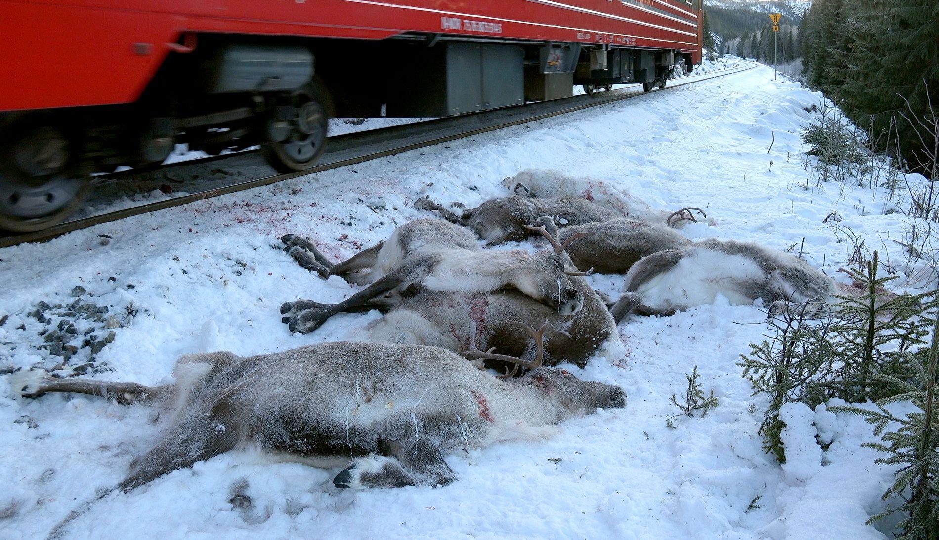 MASSEPÅKJØRSEL: Et tog passerer døde reinsdyr som ligger ved siden av jernbanesporet ved Kvalforsbrua mellom Eiterstrøm og Mosjøen på Helgeland lørdag sist uke. Over 100 reinsdyr i området er påkjørt og drept av tog de siste dagene.