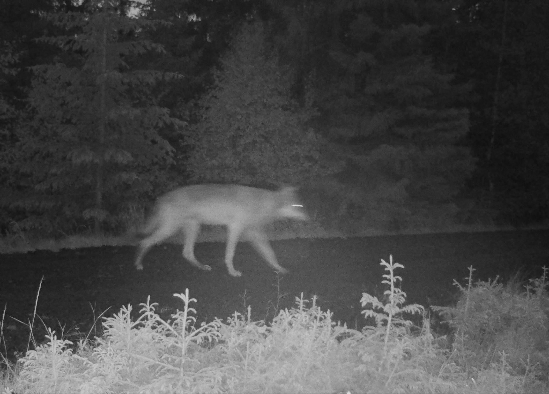 LONE WOLF: Bildene fra Viltkameraet, som var satt opp av fellingslaget, viser kun ett individ.
