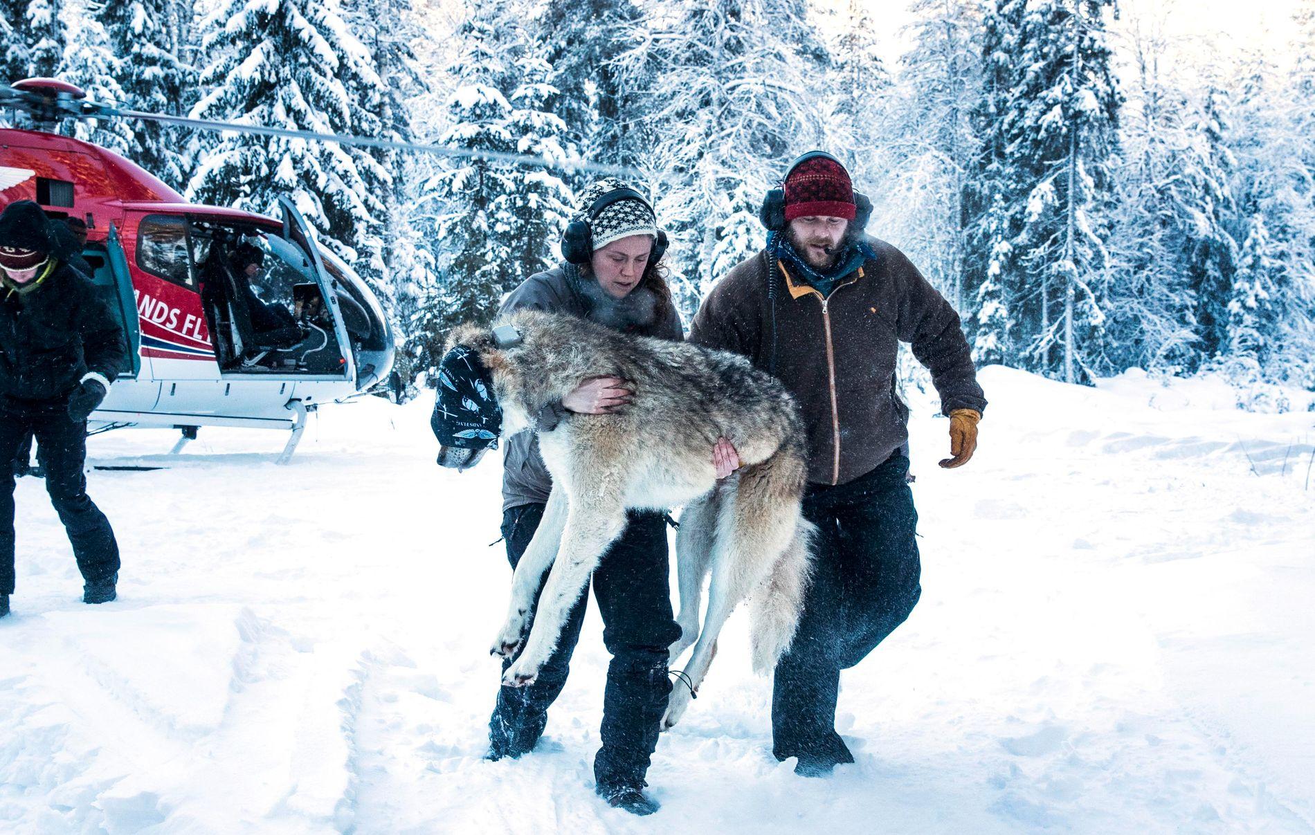 DNA-rapport om norske ulver: Kan stamme fra dyreparker