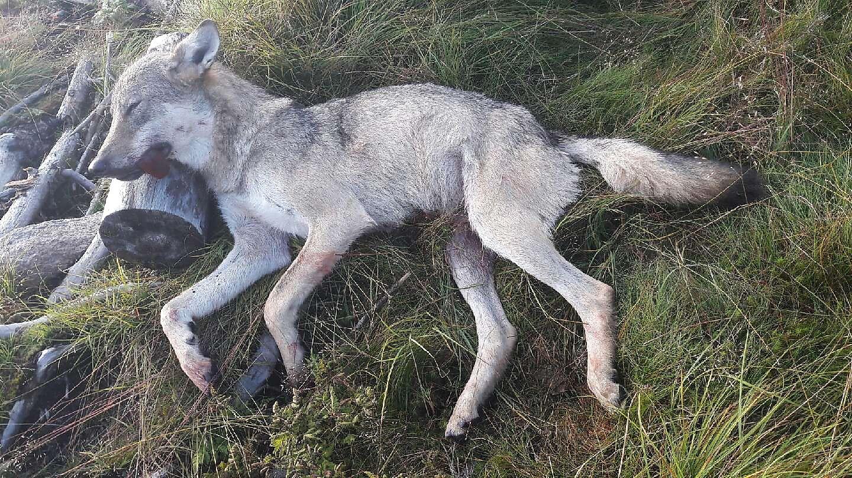 FELT I AUGUST: Ulven som drepte og skadet over 300 sauer sist sommer, ble felt på Østre Toten mandag 7. august. Den ble veid til 34 kilo.