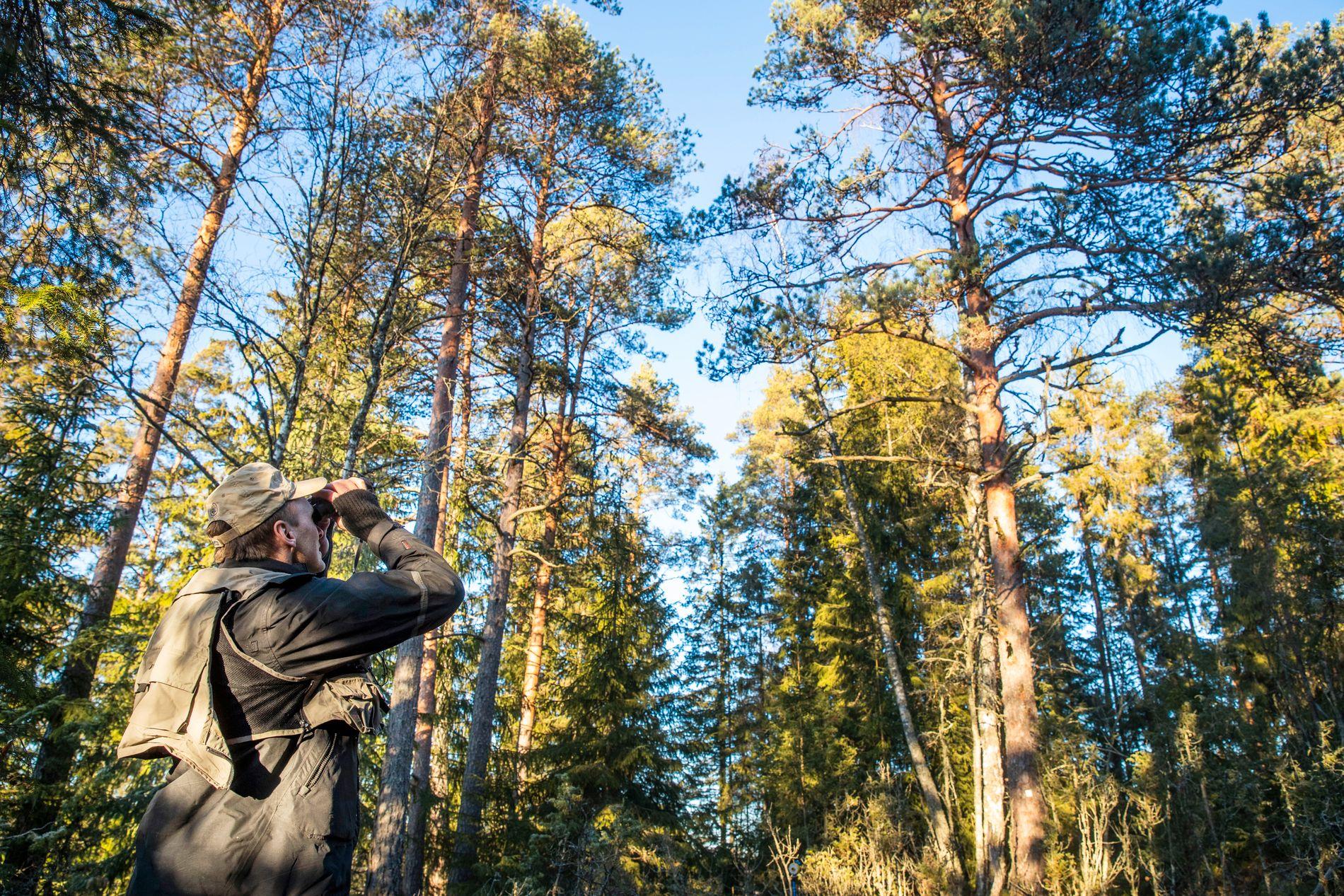 TELLER TRÆR: Knut Ole Viken demonstrerer landsskog-takseringen. Alle trærne av en viss størrelse innenfor et areal på 250 kvadratmeter blir talt og mål.