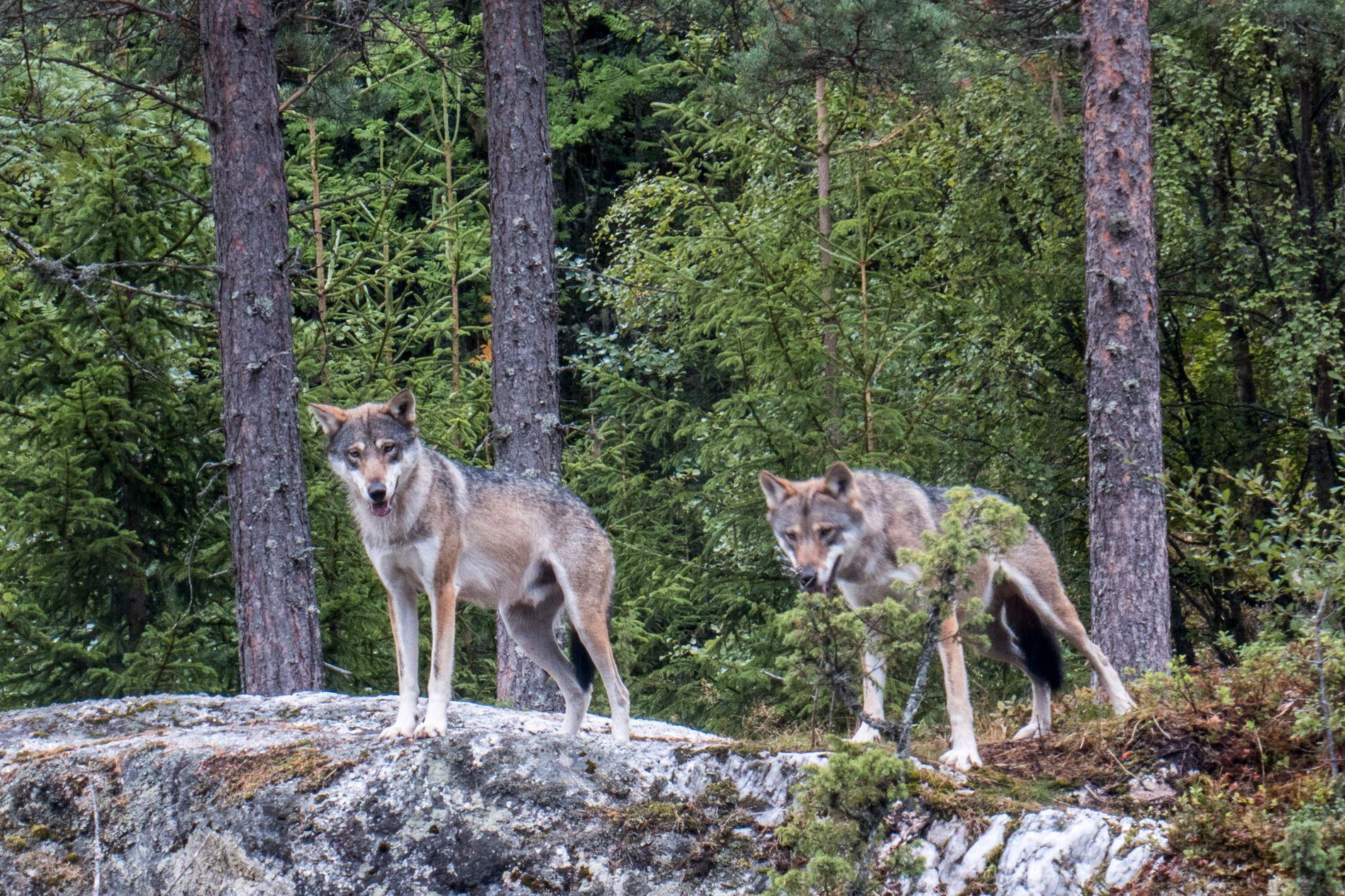 UVISS SKJEBNE: Ulver i Bjørneparken i Flå.