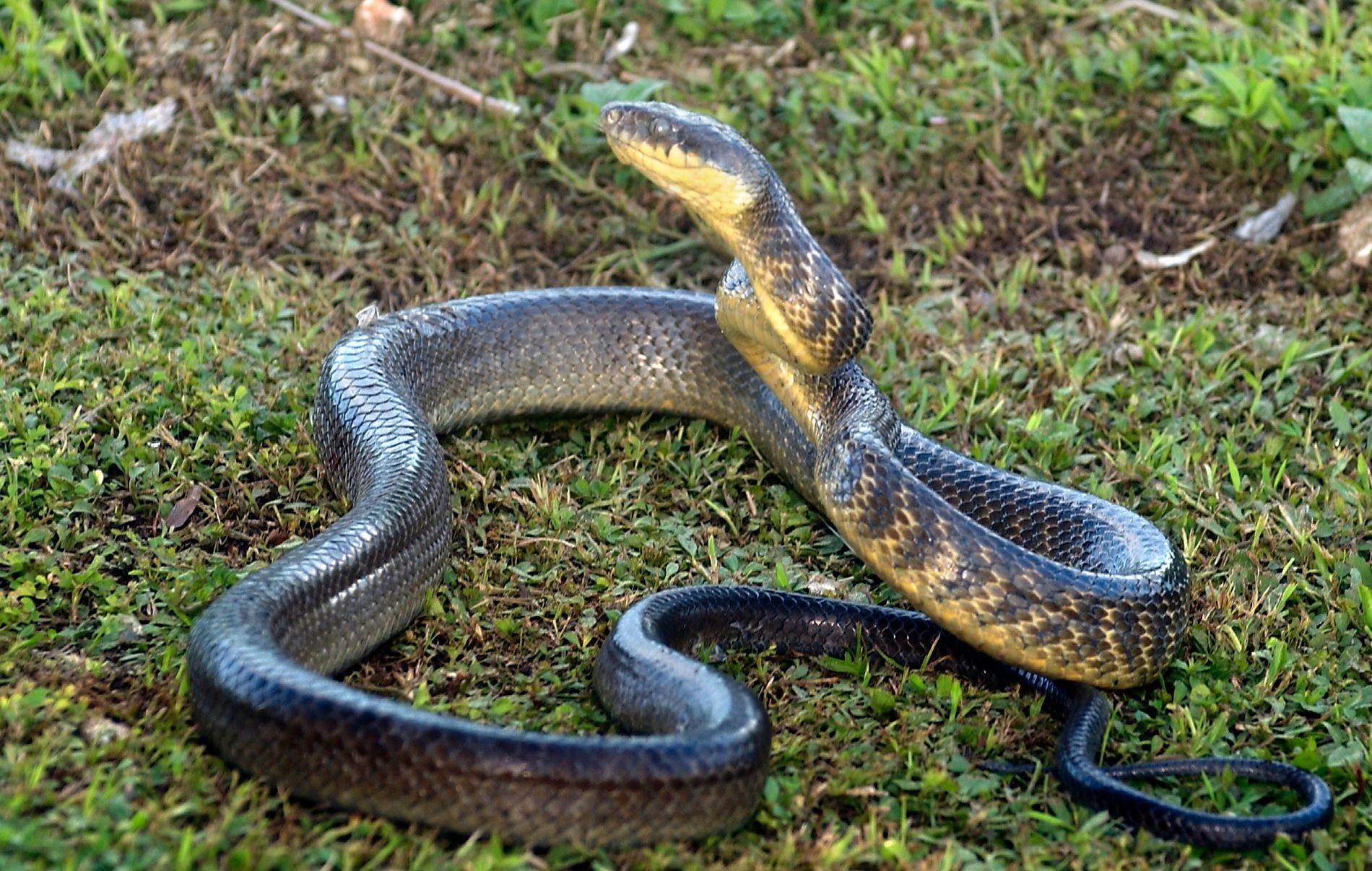 BRUN TRESNOK: Det er fire slanger av typen brun tresnok som nå får innvilget opphold på Hawaii.