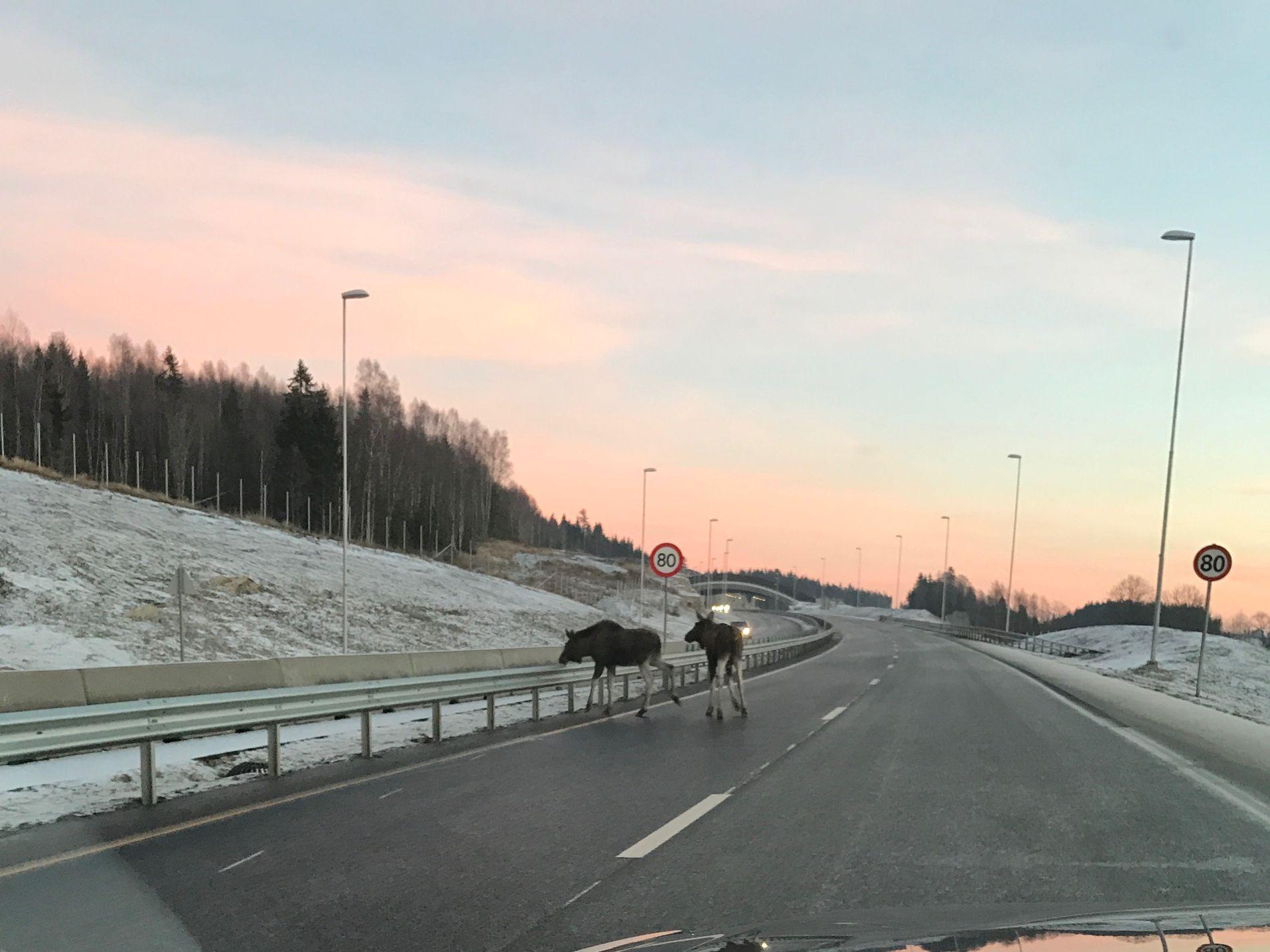 SØNDAGSTUR: To elger forsøker å krysse E18 søndag ettermiddag. Det er bom stopp når de kommer til midtrabatten.