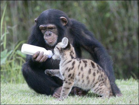 SMARTE DYR: Sjimpanser er det nærmeste man kommer mennesker i dyreriket. Her viser Anjana (5) morsinstinkt når hun gir en pumaunge melk i North Carolina i USA. Foto: Barry Bland / Barcroft Media
