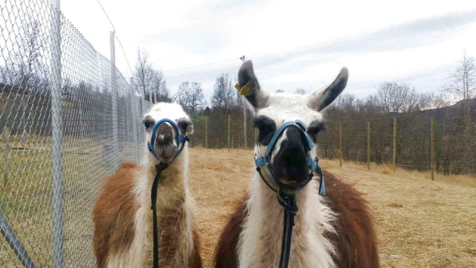 BORTE: Har du sett disse to luringene? De har nemlig tatt seg en ferie på eget initiativ. Foto: PRIVAT