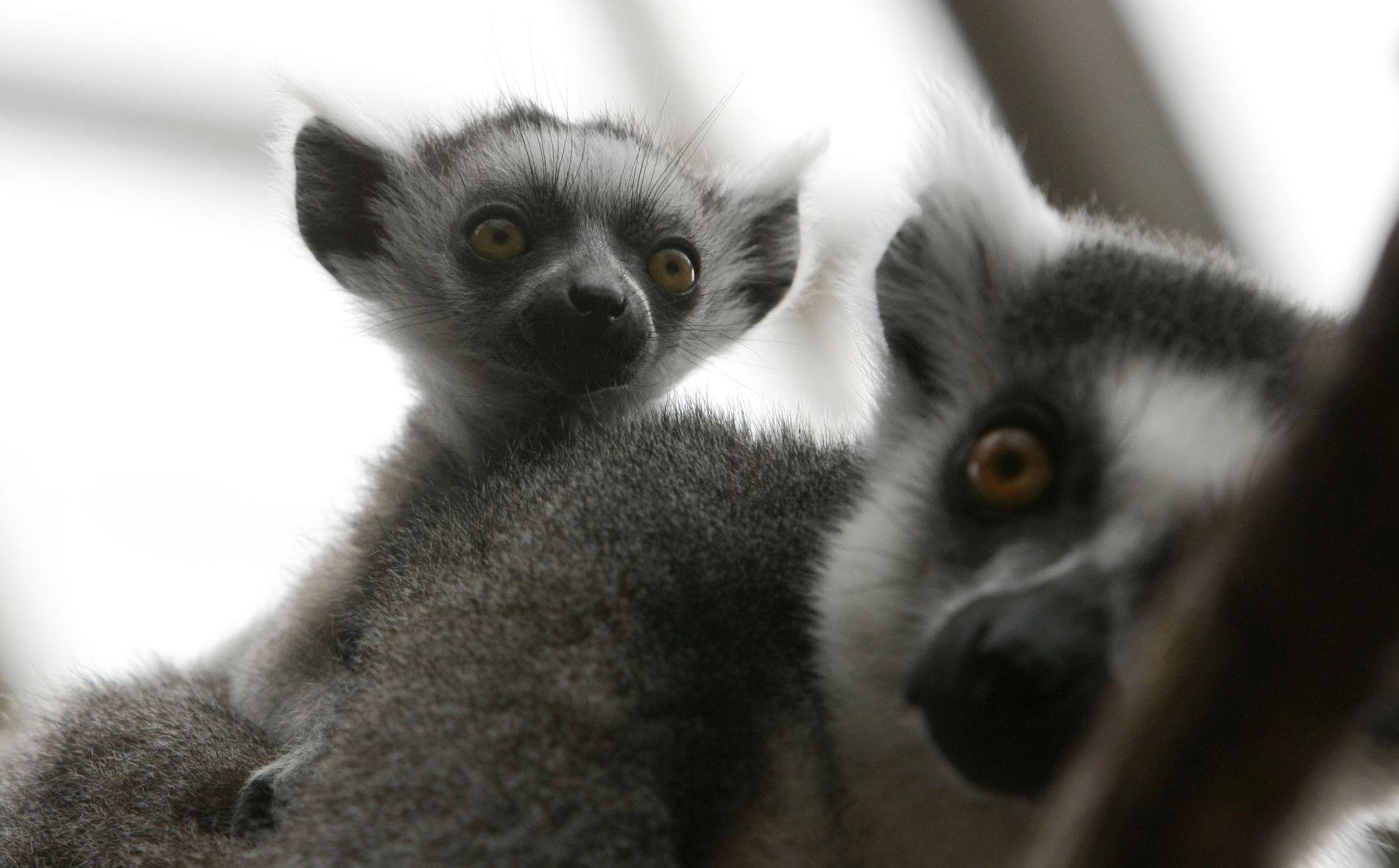 KAN BLI EN SJELDENHET: Lemurer fotografert i dyreparken i Kristiansand i 2008.