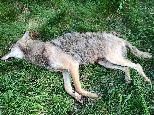 AVLIVET: Ulven ble hardt skadet under påkjørselen på E6.