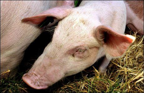TAR INGEN SJANSER: Mattilsynet skal slakte de to grisebesetningene i Nord-Trøndelag som har fått påsvist svineinfluensa. Foto: SCANPIX