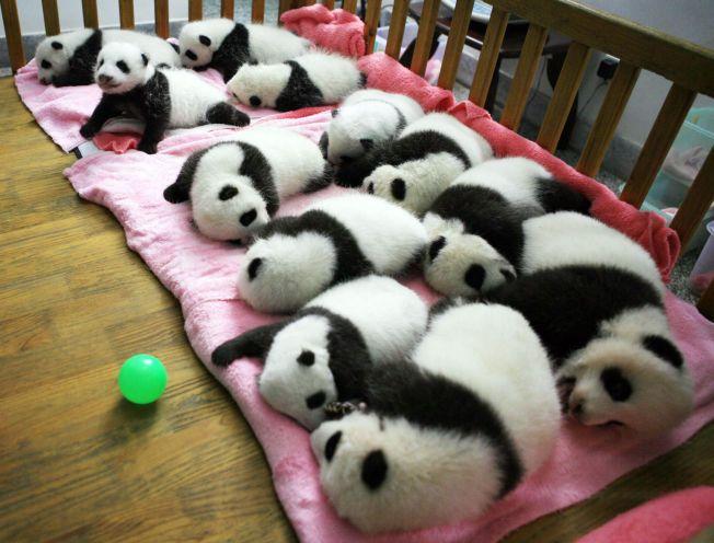 VERNER PANDAER: Chengdu-senteret sier at det vil være skadelig for pandaene å spå kamper under VM.