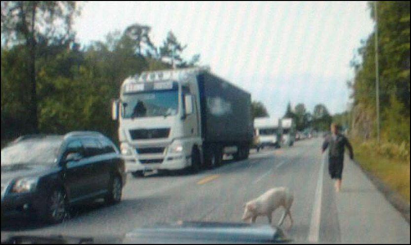 HELDIGGRISEKJØRERE: Den rømte grisen gjorde at trafikken gikk sakte. Foto: Arne Ingmar Eggen