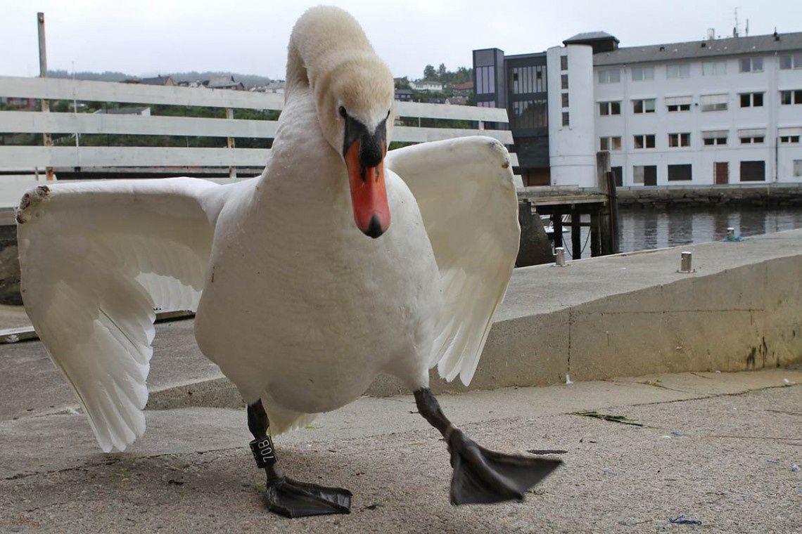 HAVNESJEFEN: Dette er svanen som har skapt splid i lokalsamfunnet.