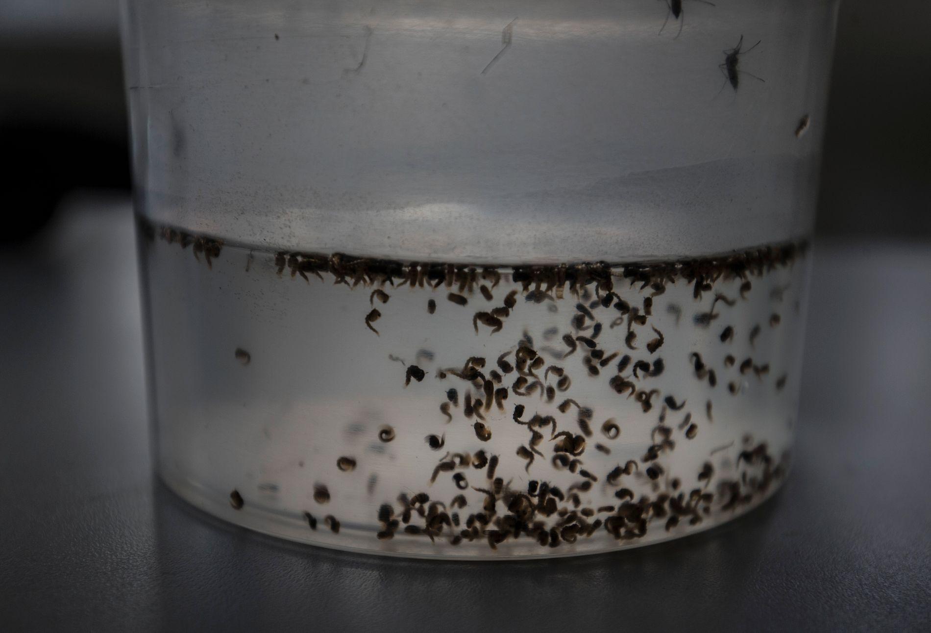 MYGG: Zikaviruset som hovedsakelig spres via mygg ble først oppdaget i 1947 i en ape nær Victoriasjøen i Uganda, og er oppkalt etter Zikaskogen, ifølge Folkehelseinstituttet.