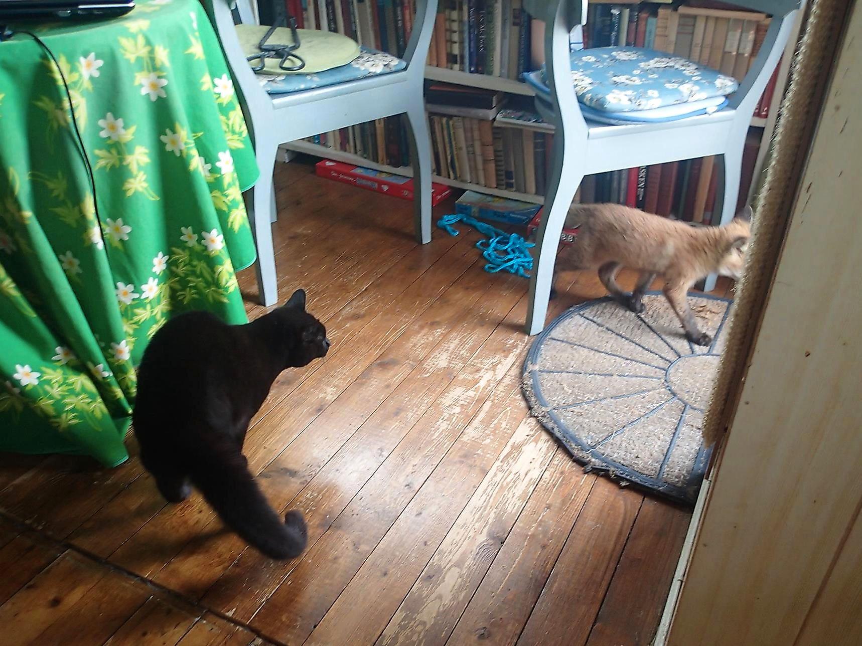 FØLGES UT: Katten Suzie (7) var på vakt med krummet rygg da revevalpen kom på besøk, men det ble ingen slåsskamp mellom de to. Her følges reven ut døra.
