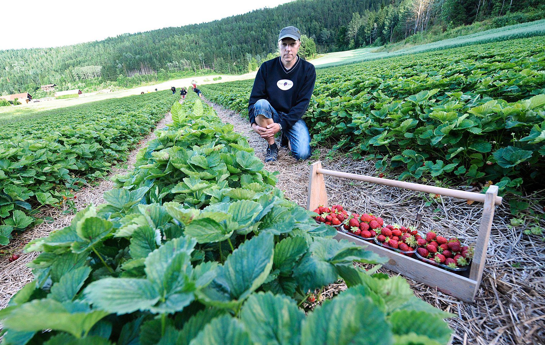 FOR VARMT: Bjørn Dahl på Mellemdahl er viden kjent for gode jordbær.  Han og resten av jordbærbøndene på Østlandet ønsker seg temperaturfall.