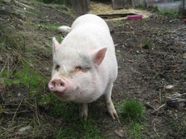 SPIST: Grisen Molly, som ble adoptert bort, var av rasen vietnamesisk hengebuksvin.
