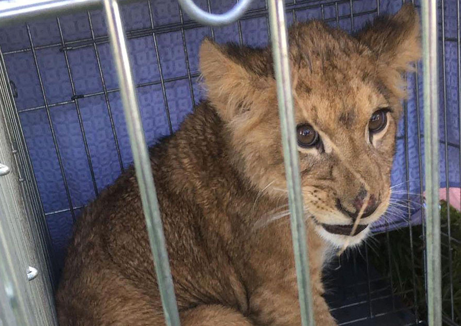 REMY: Stiftelsen Stiching Leeuw har døpt løveungen Remy.