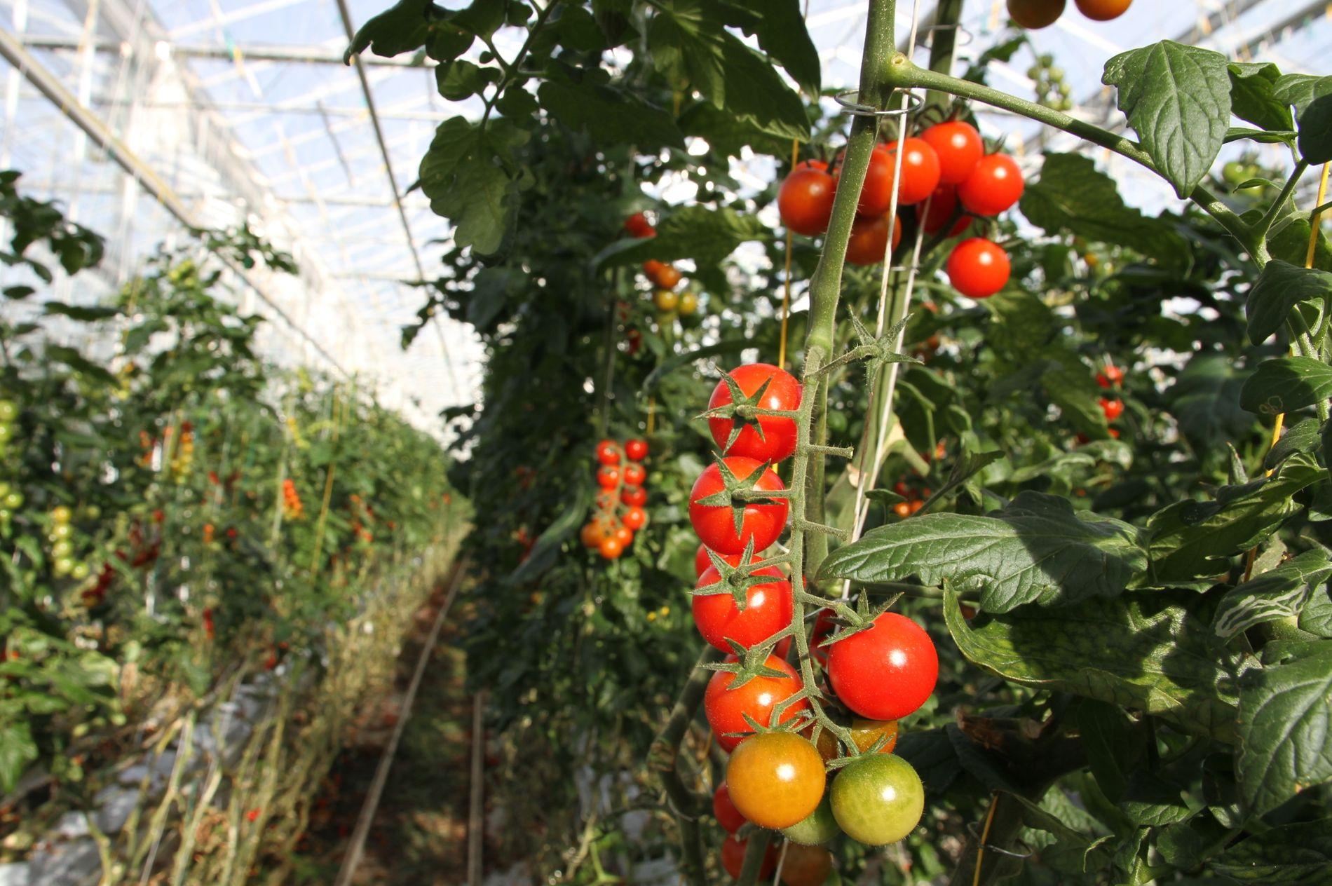 TOMAT PÅ EN TO TRE: Med vekstfremmende CO₂ fra naboen vokser tomater og grønnsaker med stor fart i veksthuset i Hinwil.