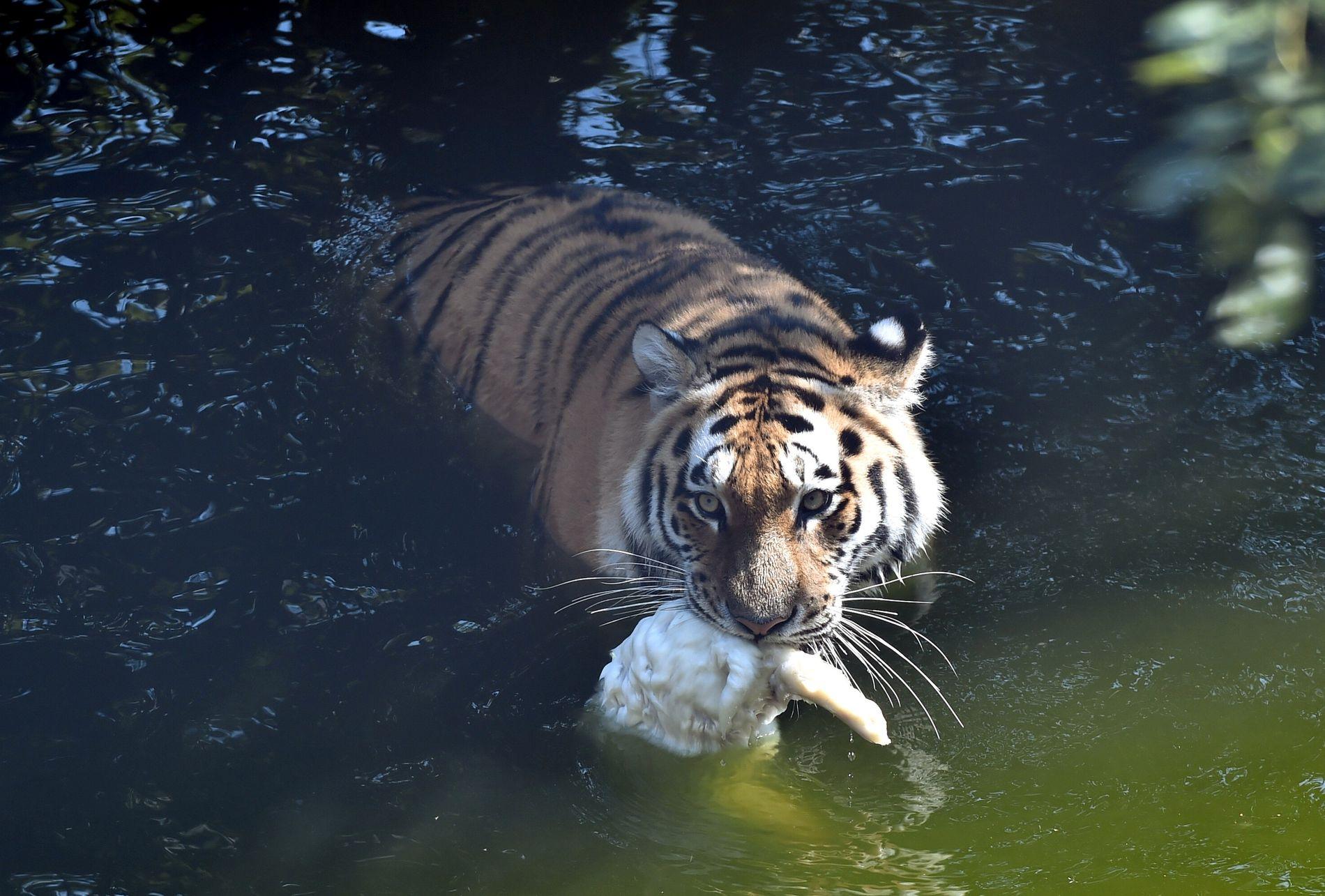 SVØMMETUR: En tiger i Korkeasaari Zoo i Finland nyter en kald matbit i bassenget.
