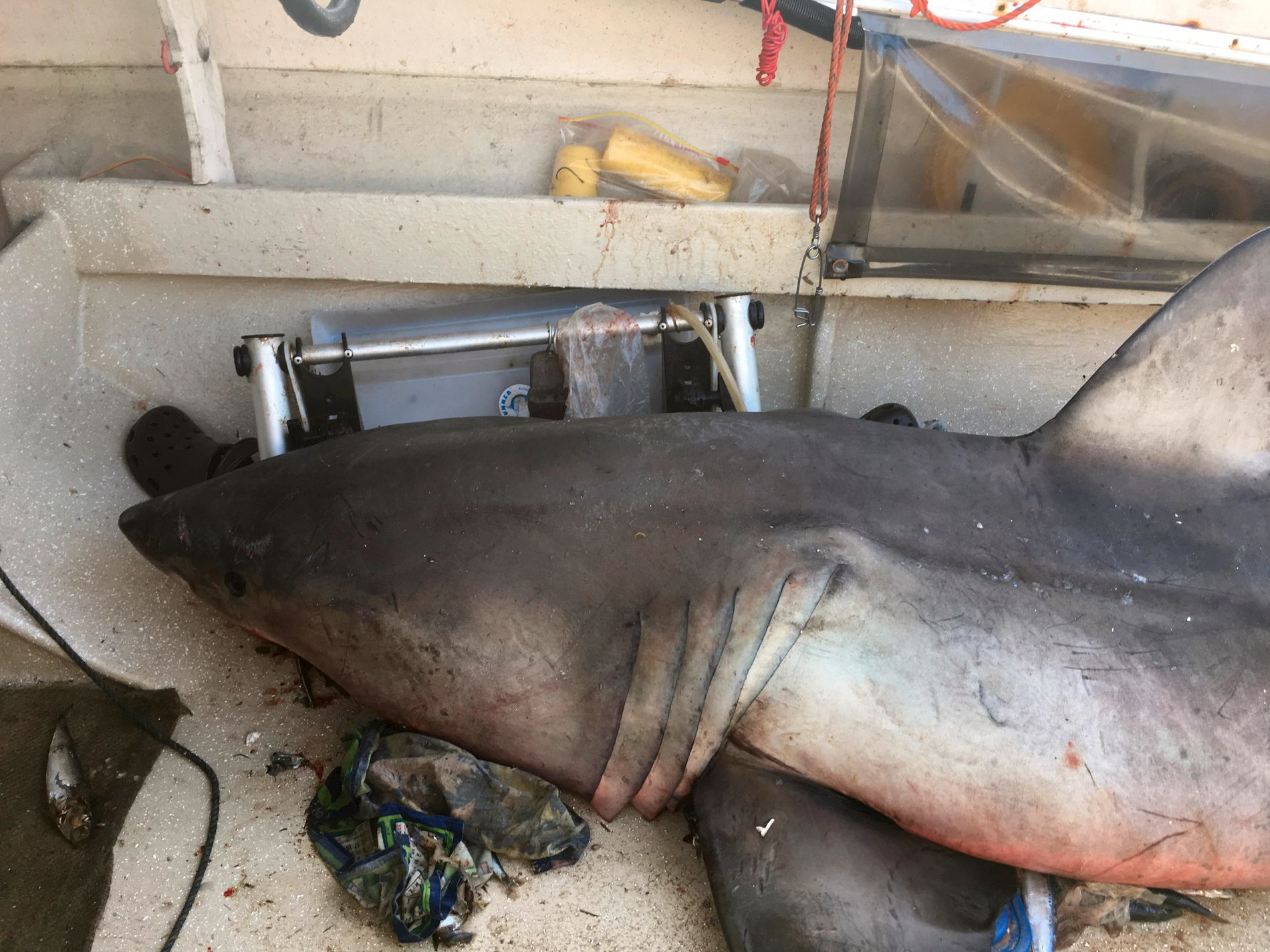 HOPPENDE HVITHAI! Her ligger den nesten tre meter lange hvithaien død. Den hoppet ombord og skadet 73-åringen, som måtte søke dekning på soltaket for ikke å bli haimat.