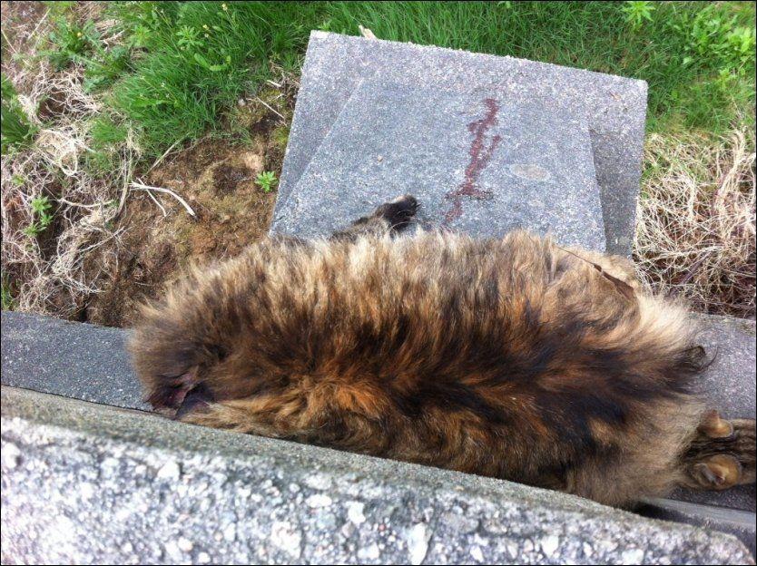 DØD KATT: Denne katten ble funnet drept på en bro ved Bleikemyr i Haugesund i mai i år. Broen brukes blant annet av barn på vei til skole i området. Til sammen er fire katter funnet mishandlet og drept i Haugesund de siste ukene. Foto: MONA HØIE/DYREBESKYTTELSEN