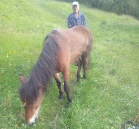 REDNINGSDRAMA: Exmoor-ponnien Harry (25) gresser ivrig etter å ha blitt reddet ned fra fjellet i helikopter.