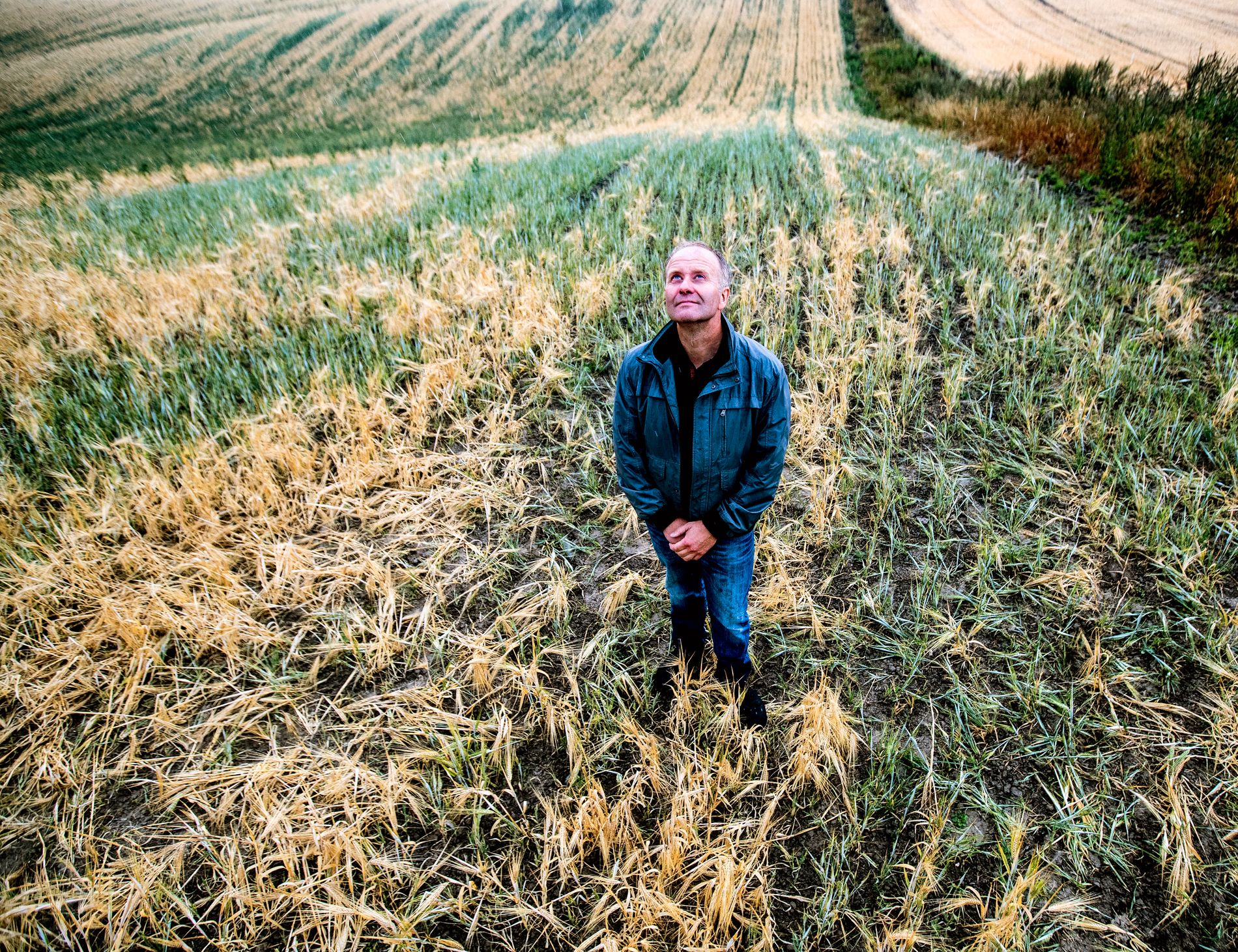 SKADER: Tørke og varme har ødelagt årets avlinger over store deler av landet.  Her er bonde Lars Egil Lauten på sin brunsvidde kornåker.